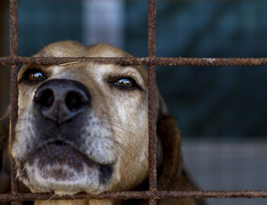 Head of a hunting dog looking melancholically through the bars of his cage