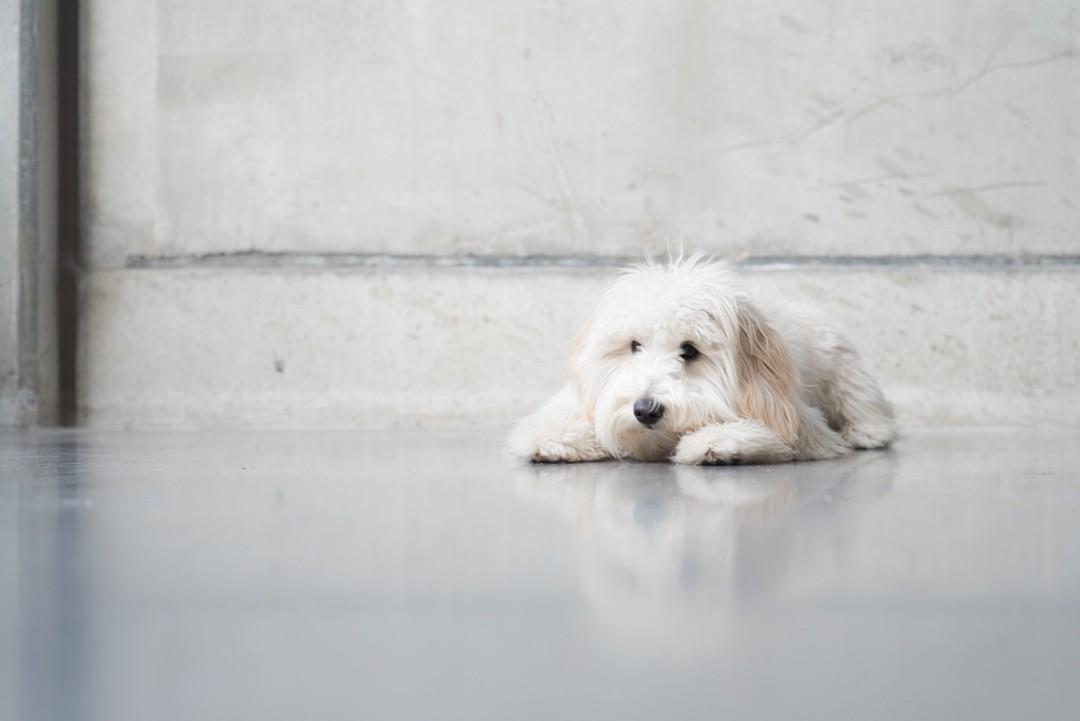 Mini-Goldendoodle