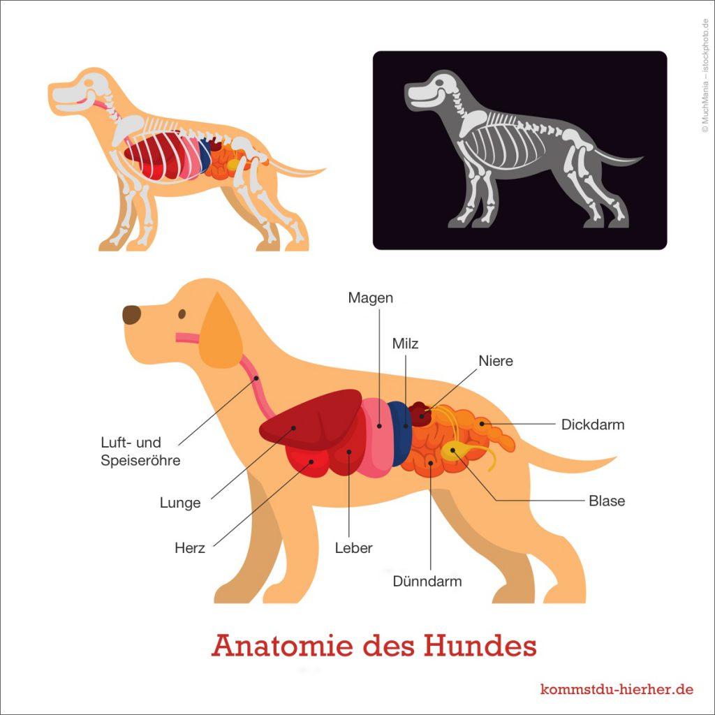 Anatomie des Hundes nicht klopfe