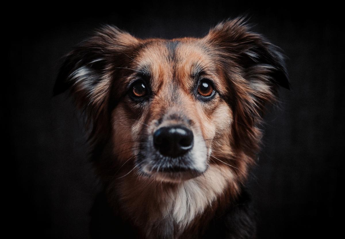die beliebteste Hunderasse der Deutschen