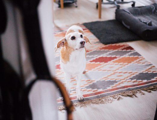 Quarantäne Hund Corona